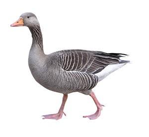 Bird Goose